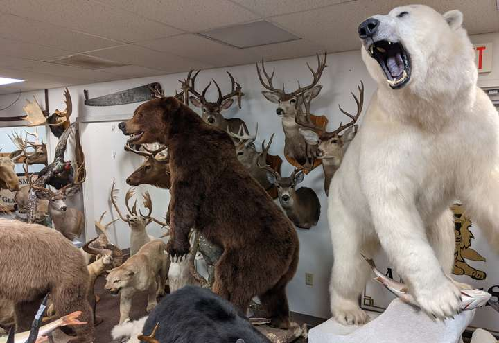 taxidermy bears and other animals
